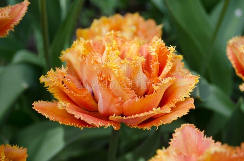 Sinnliche Notentulpe Orange doppelte Blumenblatttulpe stockfotografie