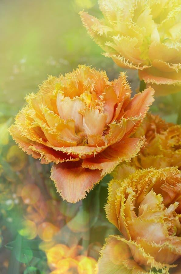 Sinnliche Notentulpe Orange doppelte Blumenblatttulpe lizenzfreies stockbild