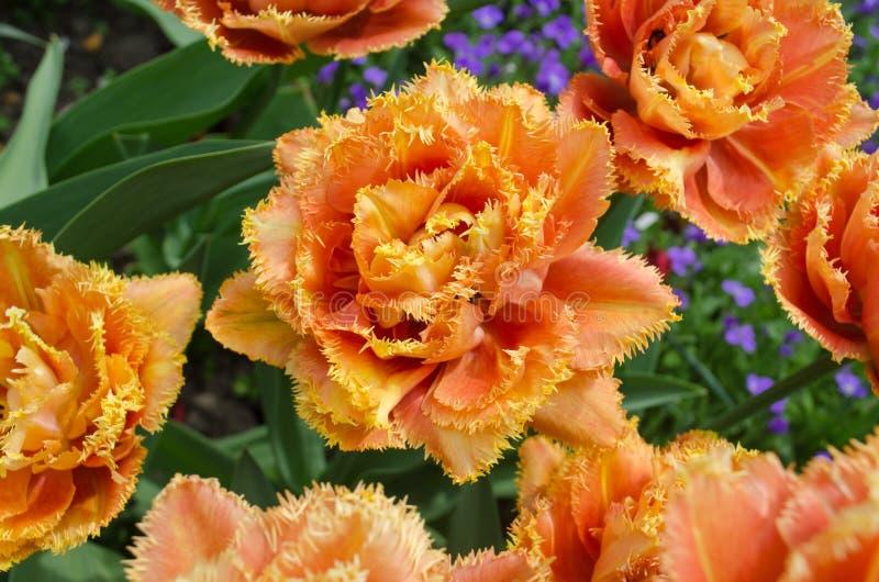 Sinnliche Notentulpe Orange doppelte Blumenblatttulpe stockfoto