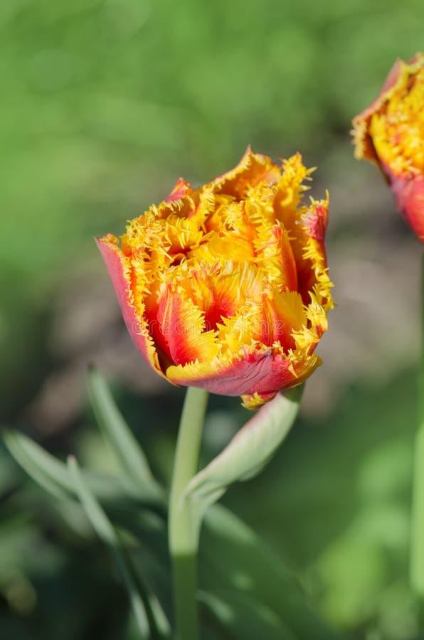 Sinnliche Notentulpe Orange doppelte Blumenblatttulpe stockfotos