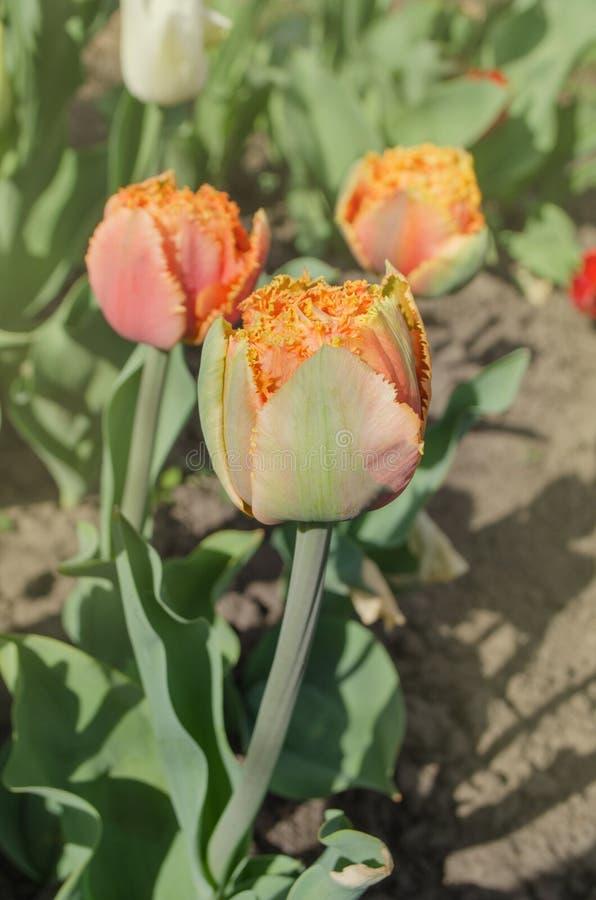 Sinnliche Notentulpe Orange doppelte Blumenblatttulpe lizenzfreie stockfotografie