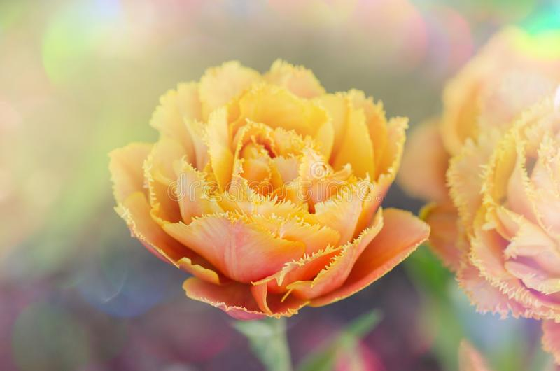 Sinnliche Notentulpe Orange doppelte Blumenblatttulpe lizenzfreie stockbilder