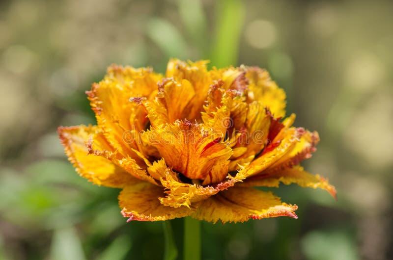 Sinnliche Notentulpe Orange doppelte Blumenblatttulpe lizenzfreie stockfotos