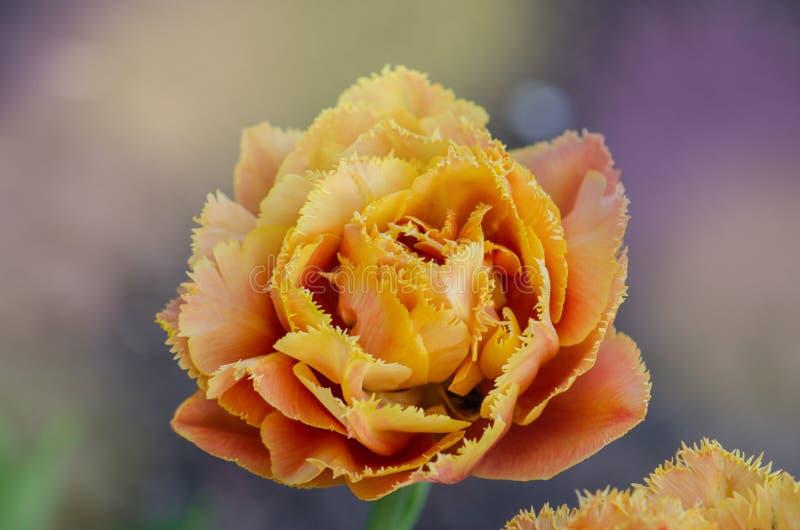Sinnligt handlag för orange dubbel kronbladtulpan arkivfoto