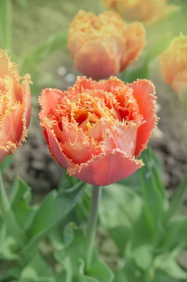 Sinnligt handlag för orange dubbel kronbladtulpan arkivbild