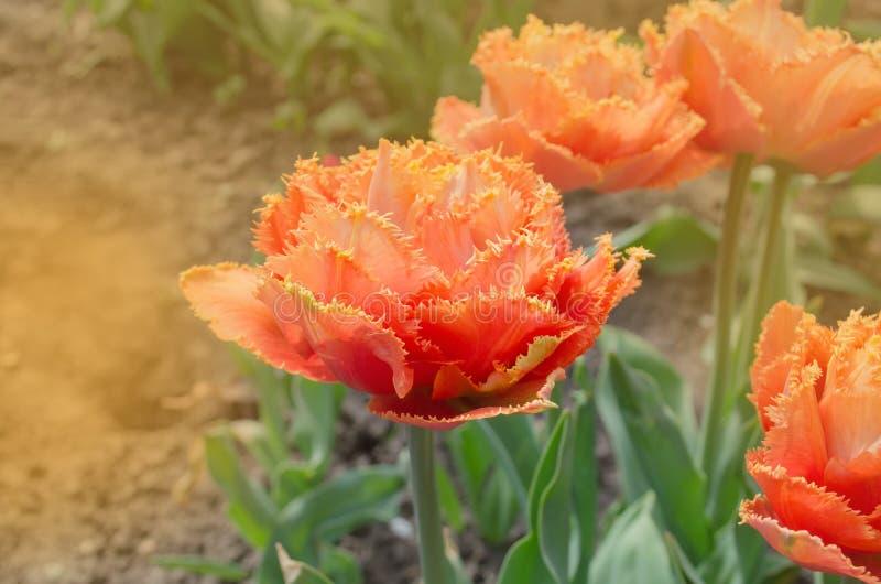 Sinnligt handlag för orange dubbel kronbladtulpan arkivbilder