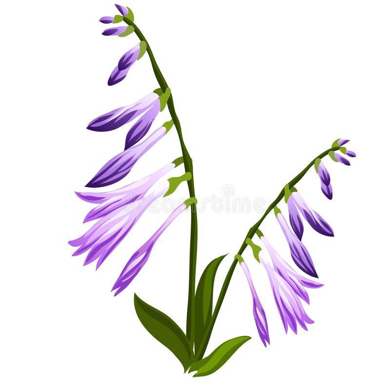 Sino da flor com os botões azuis isolados no fundo branco Ilustração do close-up dos desenhos animados do vetor ilustração do vetor