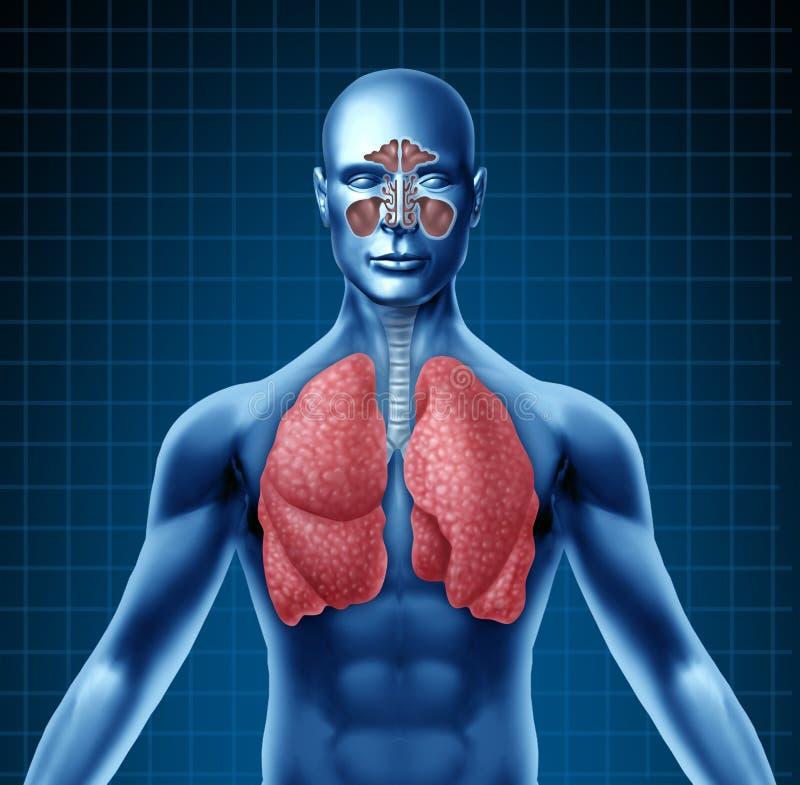 Sino humano y sistema respiratorio libre illustration