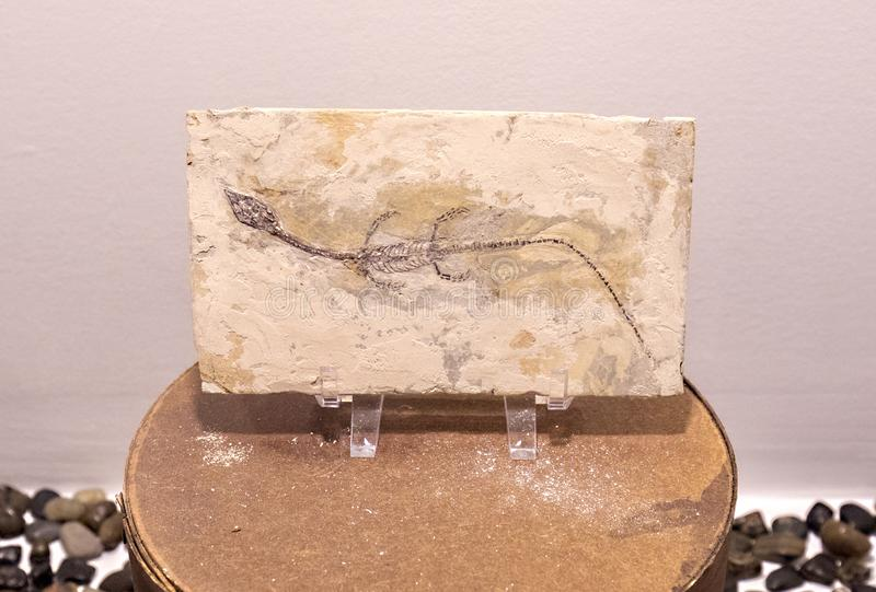 Sinohydrosaurus reptilfossil arkivfoto