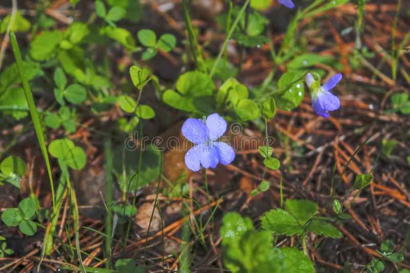 Sinos das flores da mola em um fundo borrado imagem de stock