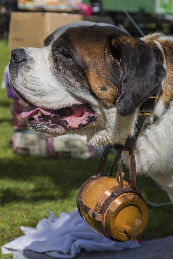 Sint-bernard die een vaatje dragen royalty-vrije stock foto's