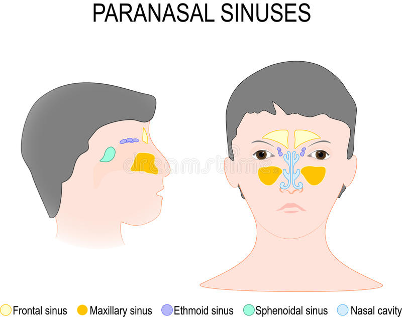 Sinus et fosse nasale de Paranasal illustration libre de droits