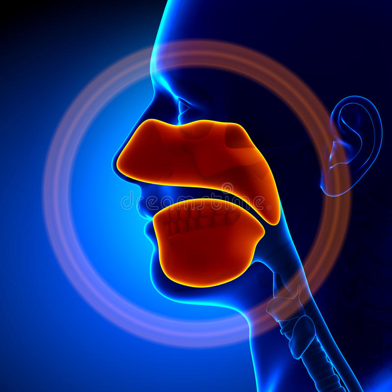 Sinuses - Ludzka anatomia ilustracja wektor