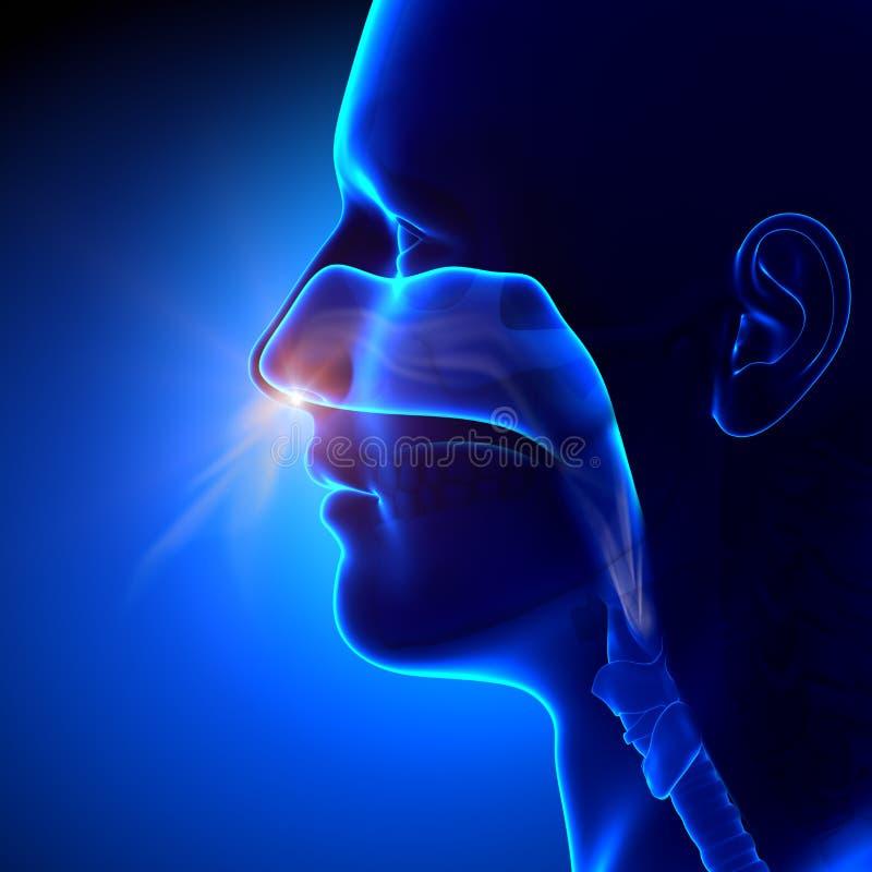 Sinussen -/Menselijke Anatomie die ademen stock illustratie