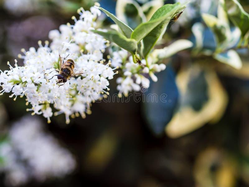 Siodłający Colletes lub gipsiarz pszczoła Colletes similis feedin obraz royalty free
