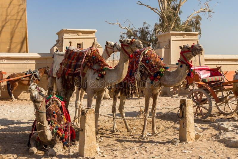Siodłający wielbłądy czekać na turystów przy Wielkim ostrosłupem przy Giza, Egipt obraz stock
