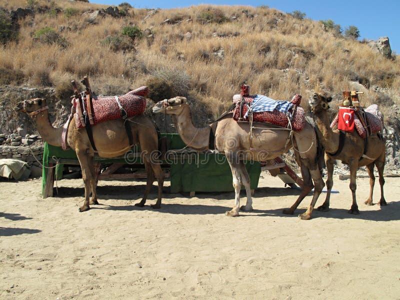 Siodłowi wielbłądy gotowi dla ładunku w Turcja zdjęcia royalty free