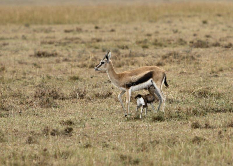 siostro s gazelle Thomson obrazy stock