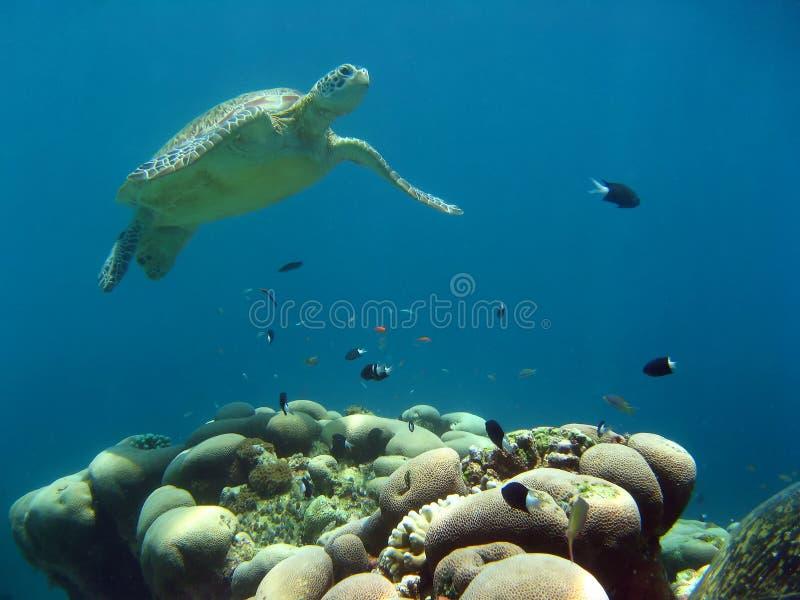 sipadan χελώνα πράσινης θάλασσας του Μπόρνεο στοκ εικόνες