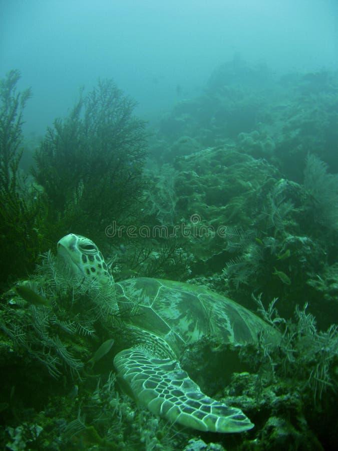 Sipadan turtle royalty free stock images