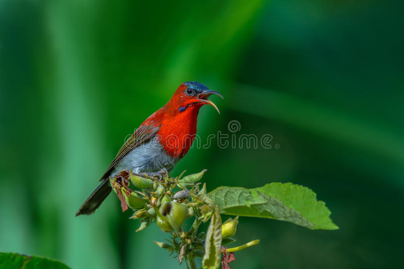 Siparaja cramoisi de Sunbird ou d'Aethopyga photo libre de droits