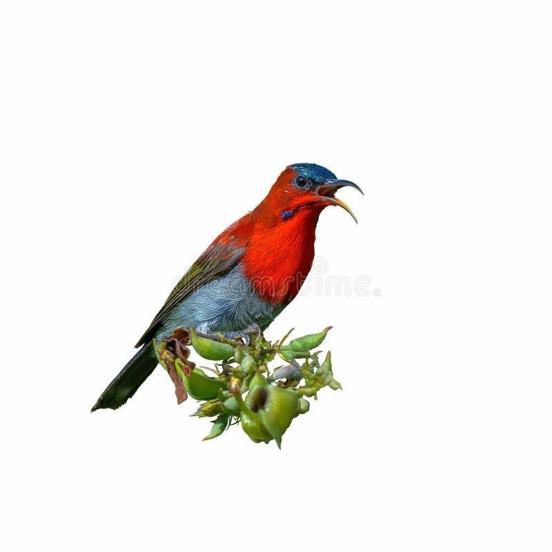 Siparaja cramoisi de Sunbird ou d'Aethopyga photographie stock
