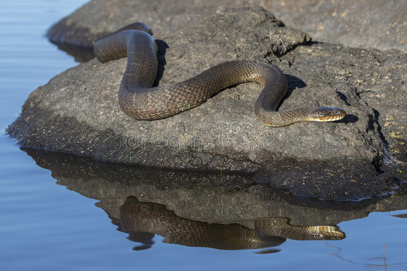 Sipedon septentrional del sipedon del Nerodia de la serpiente de agua que toma el sol en una roca foto de archivo libre de regalías