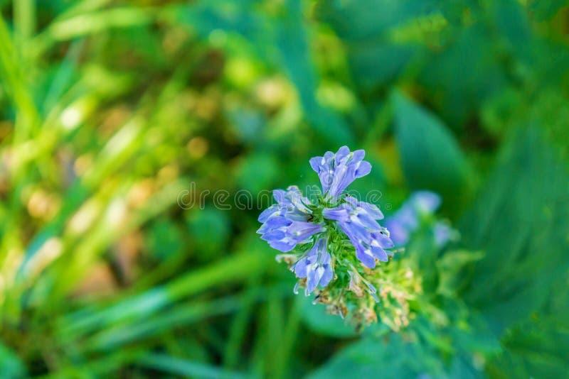 Siphilitica лобелии большого голубого †лобелии «- 2 стоковые фотографии rf