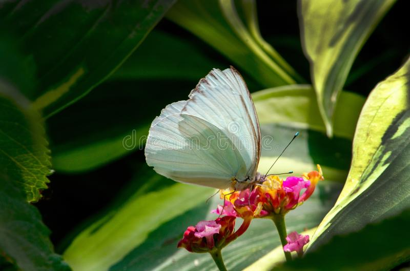 Sipping flowers in the garden. A beautiful white butterfly in a pretty garden enjoys a sip from colorful flowers royalty free stock photos