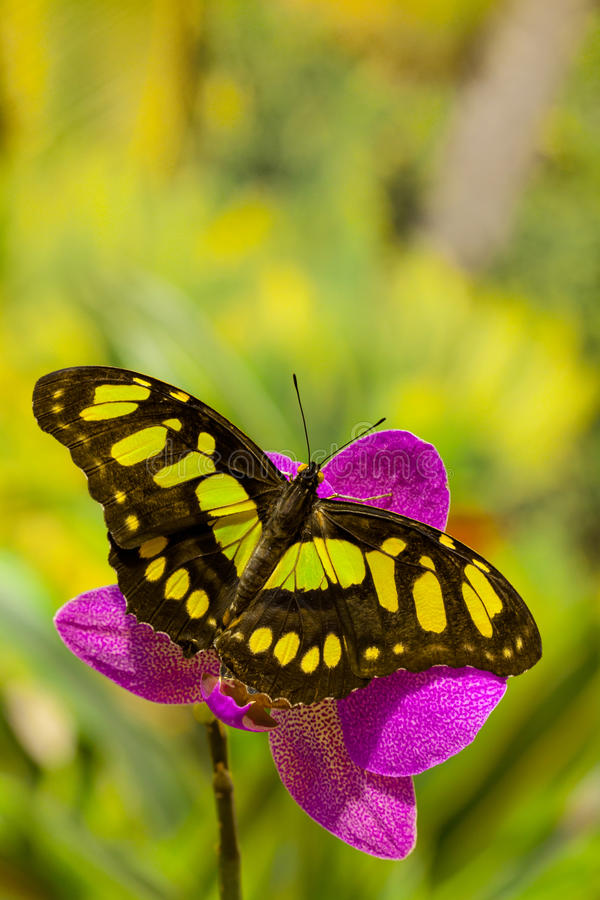 Siproeta stelenes butterfly on the orchid flower stock images