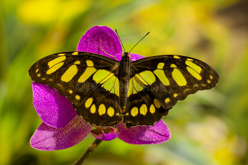 Siproeta stelenes butterfly on the orchid flower stock photos
