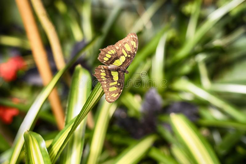 Siproeta stelenes green malachite butterfly royalty free stock photo