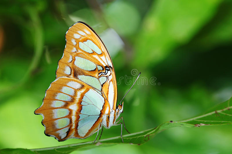 Siproeta stelenes- Pearly Malachite in Forest. Siproeta stelenes- Pearly Malachite - Butterfly against green forest background stock photo