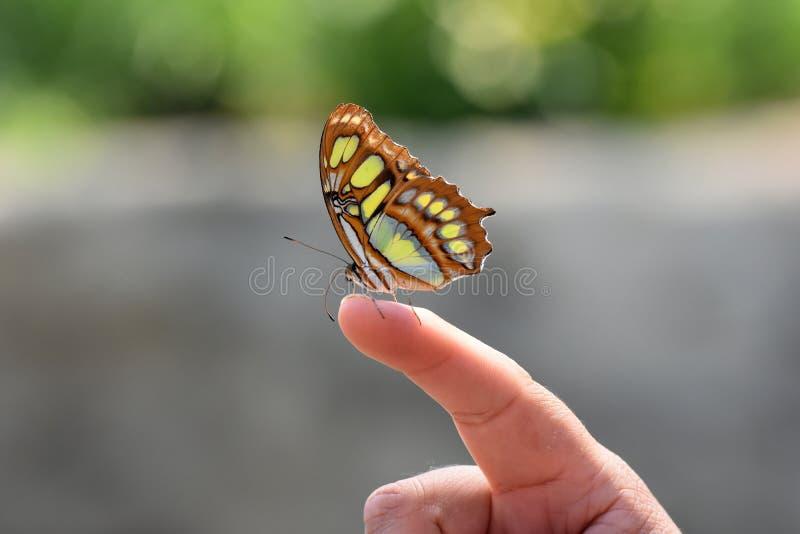 Siproeta stelens, cudowny Malachitowy motyl zdjęcie stock