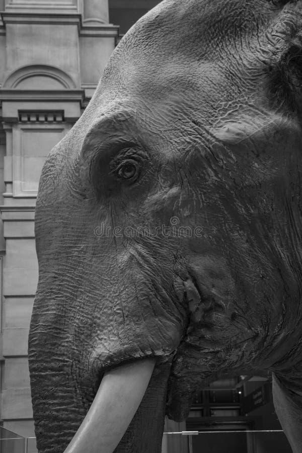 Sir Roger elefanten royaltyfri bild