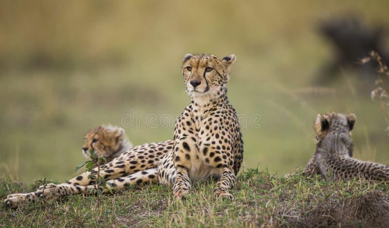 Sira de mãe à chita e aos seus filhotes no savana kenya tanzânia África Parque nacional serengeti Maasai Mara foto de stock royalty free