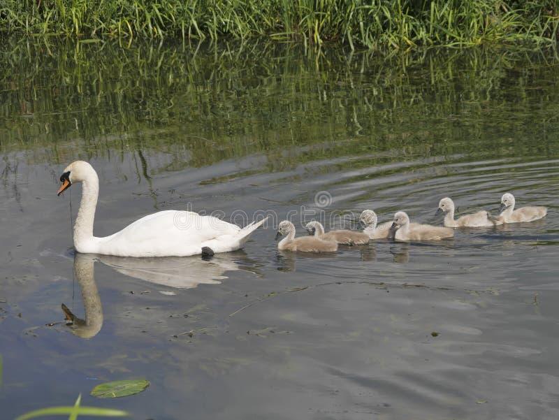Sira de mãe à cisne muda que conduz seis sinetes do bebê no rio foto de stock royalty free