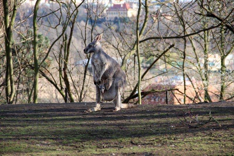Sira de mãe ao canguru com seu bebê pequeno no jardim zoológico fotografia de stock