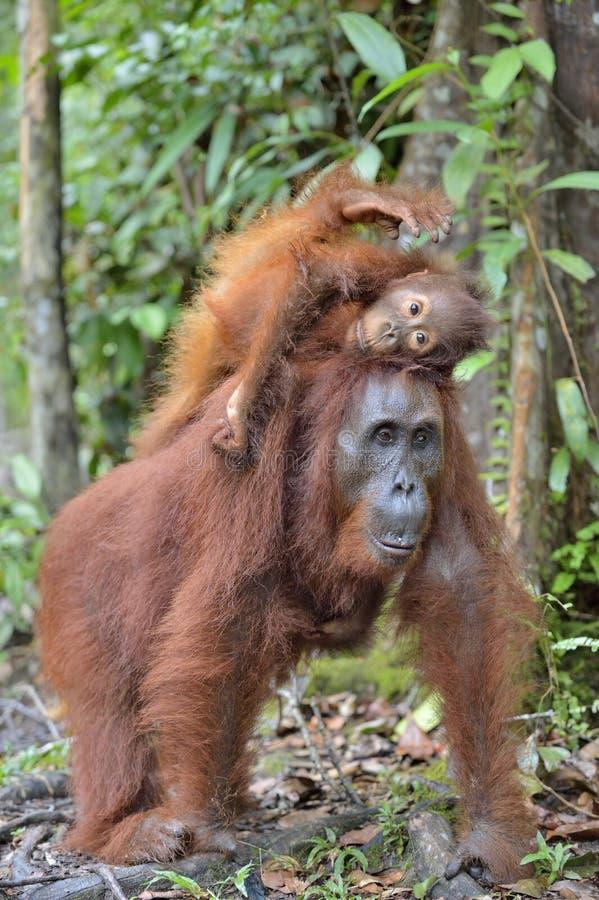 Sira de mãe ao orangotango e ao filhote em um habitat natural Orangotango de Bornean imagens de stock royalty free