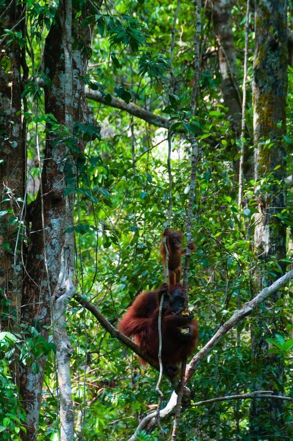 Sira de mãe ao orangotango Utan e ao bebê que senta-se em uma árvore dentro foto de stock