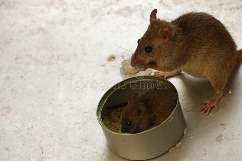 Sira de mãe ao rato que olha seu filhote de cachorro pequeno comer o arroz dentro de Tin Can fotografia de stock royalty free