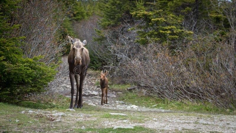Sira de mãe aos alces e à vitela que andam abaixo da fuga nas madeiras imagem de stock