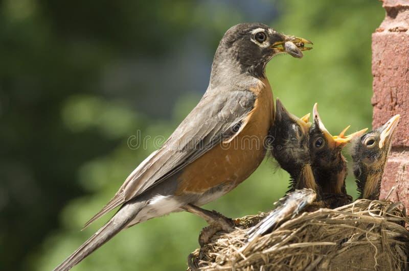 Sira de mãe a bebês de alimentação do pisco de peito vermelho fotografia de stock