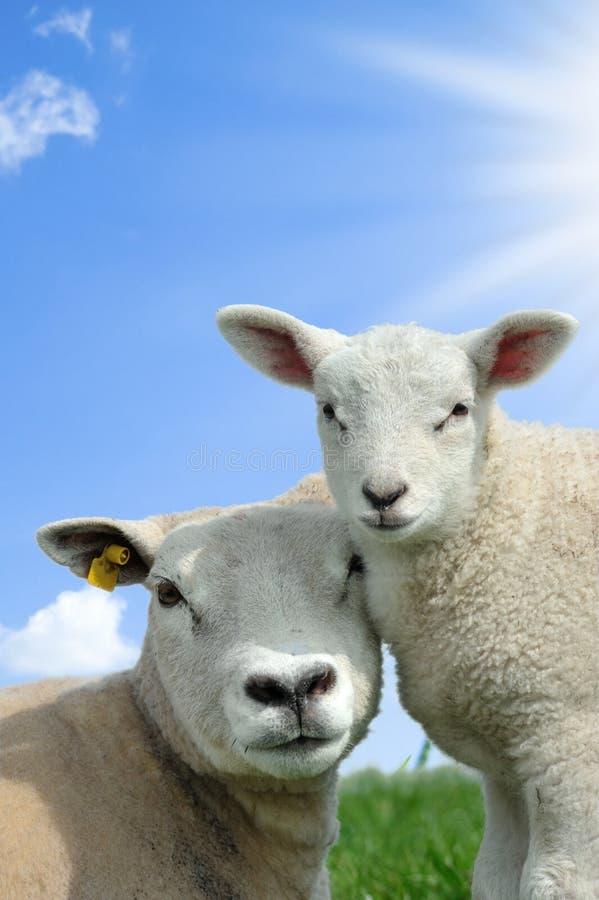 Sira de mãe a carneiros e a seu cordeiro na mola imagem de stock