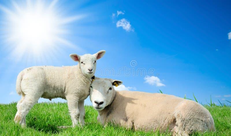 Sira de mãe a carneiros e a seu cordeiro na mola fotografia de stock