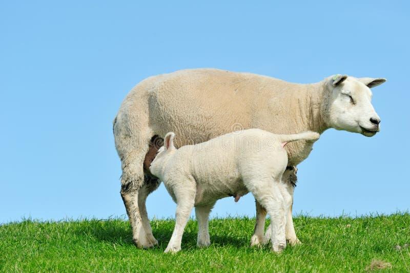 Sira de mãe a carneiros e a seu leite bebendo do cordeiro na mola imagens de stock