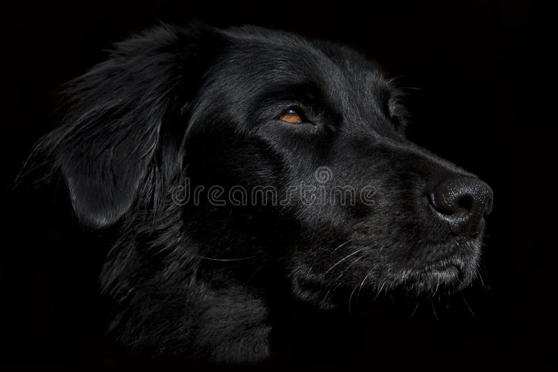 Cute black dog face wallpaper on a dark background. This beautiful black dog is a half-breed that resembles a Flat Coated Retriever. Her name is Siria. Her coat stock images