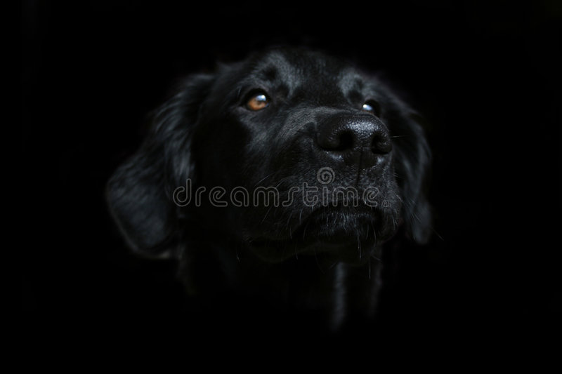 Cute black dog face wallpaper on a dark background. This beautiful black dog is a half-breed that resembles a Flat Coated Retriever. Her name is Siria. Her coat royalty free stock images
