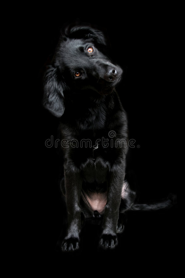 Download Cute Black Dog Face Wallpaper On A Dark Background Stock Image