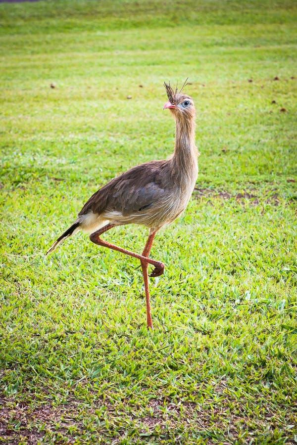 Download Siriema 库存图片. 图片 包括有 敌意, 行程, 双翼飞机, 野生生物, 面包渣, 本质, 草甸 - 59106627
